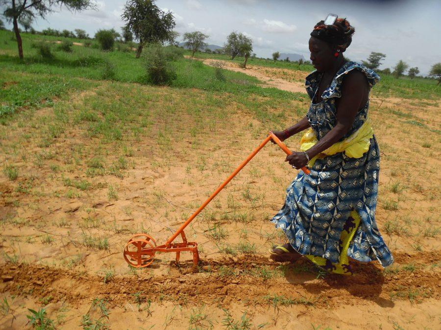Une femme utilise une sarcleuse sur une parcelle de fonio. Hamidou Guindo