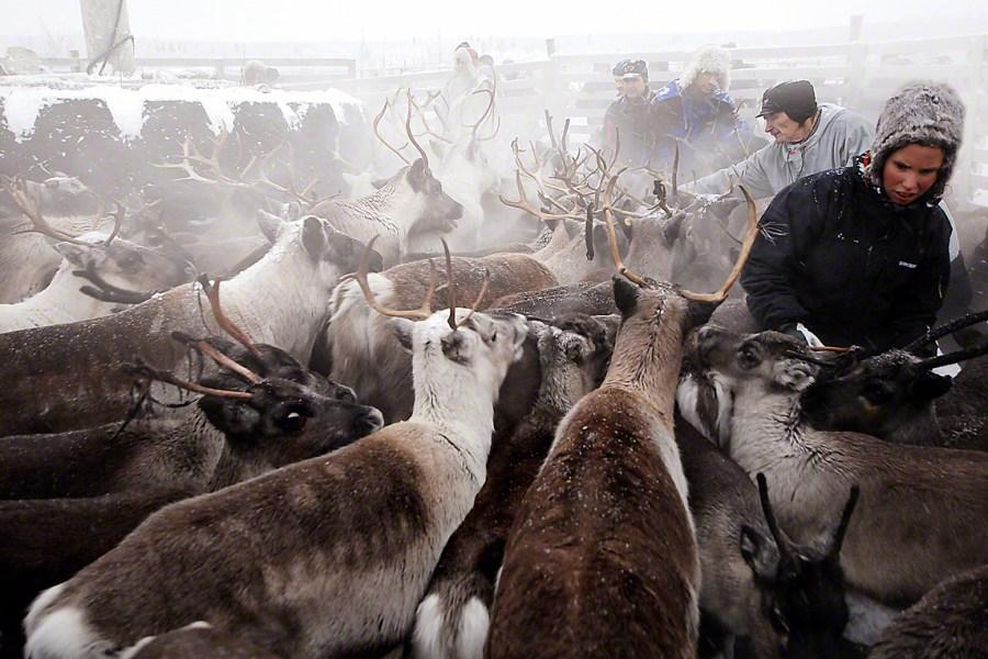 Thousands of the Indigenous Sámi are full-time reindeer herders in Norway. Michiel van Nimwegen, Flickr