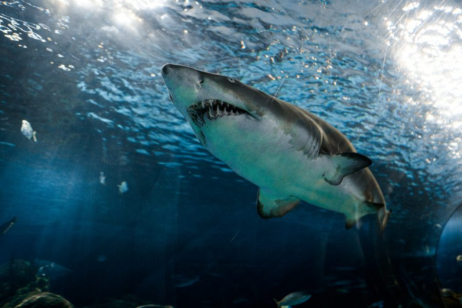 A large increase in baby great white sharks has been reported around Monterey Bay since 2014. marcelocidrack, Unsplash