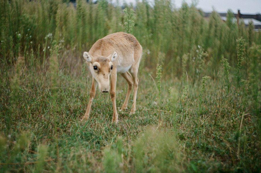The saiga is a critically endangered antelope. dashikka, Unsplash