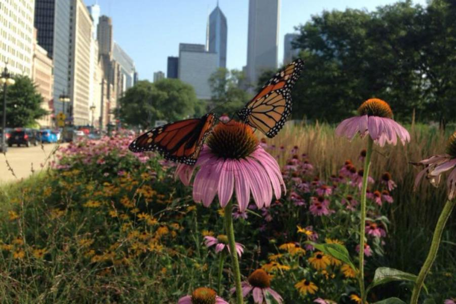 Monarch butterflies visit flowers in downtown Chicago, where native plants including milkweed are planted on boulevards. Photo courtesy of Abigail Derby Lewis.