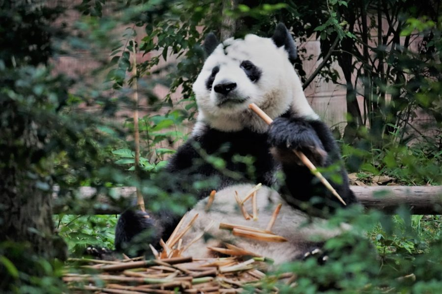 The giant panda only lives within a few mountain ranges in central China. tongs, Unsplash