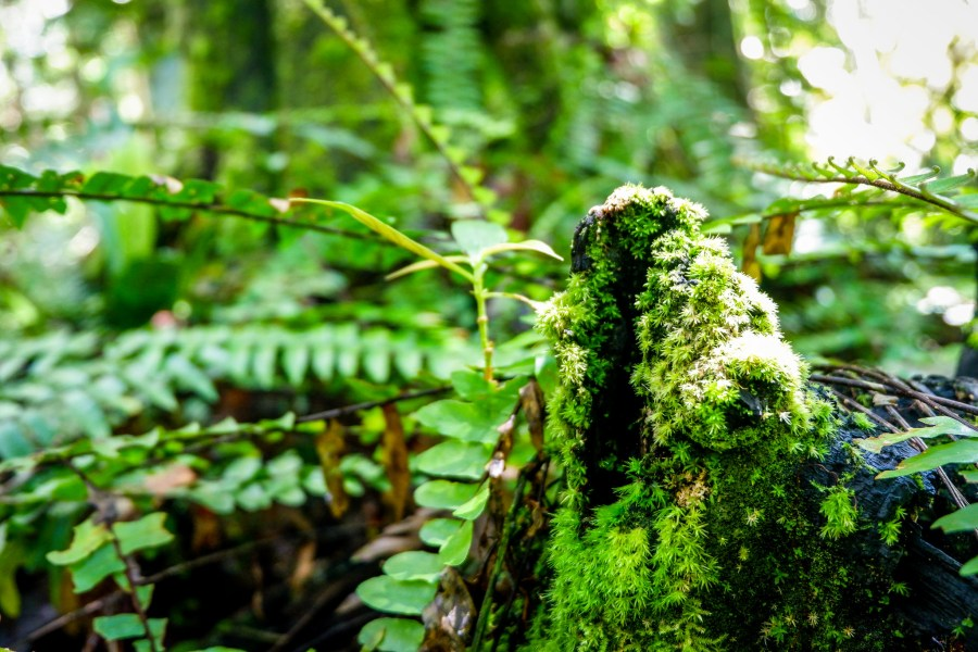 In a tropical peat swamp forest in Kalimantan, Indonesia, rainforest moss and epiphyte plants grow on tree roots. Tropical peatlands house enormous amounts of biodiversity as well as store more carbon than other landscapes. Sigit Deni Sasmito, CIFOR