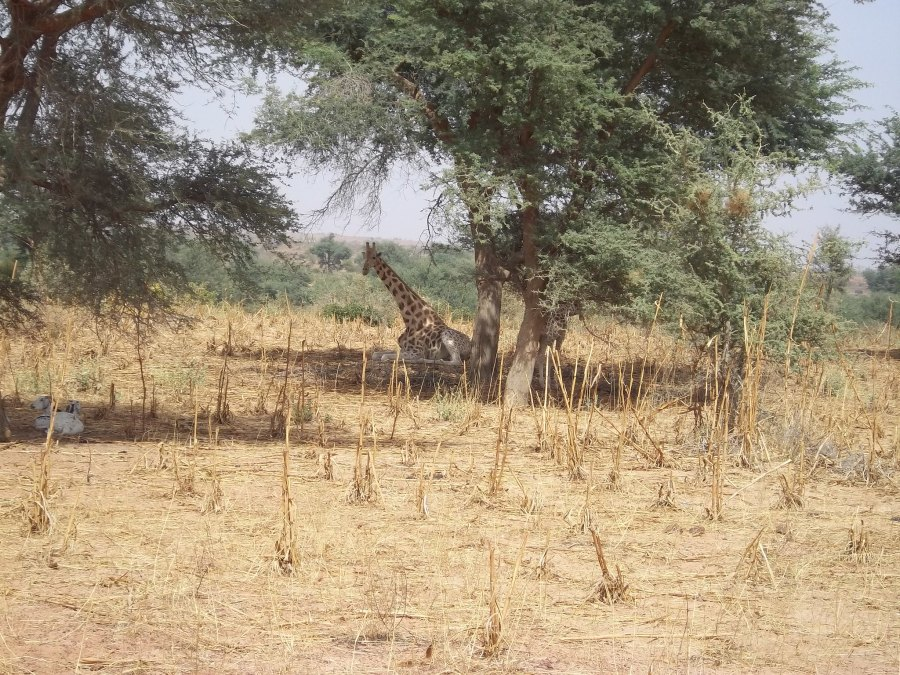 A giraffe rests under an acacia tree on a landscape managed with FMNR in Niger. P. Savadogo, ICRAF
