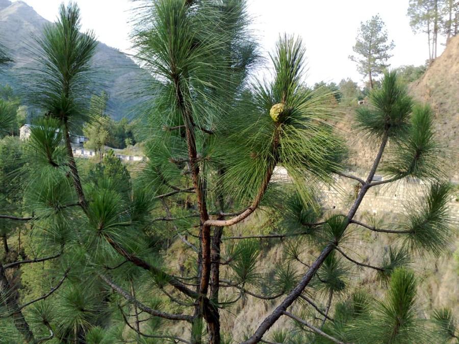 Chir pine was the tree species most grown during the Billion Tree Tsunami in Khyber Pakhtunkhwa. Nauman Sadiq, Wikimedia Commons