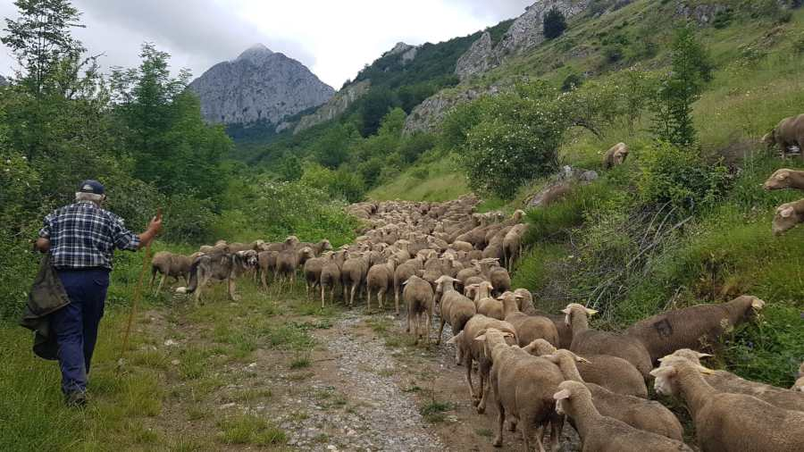 After 33 days and 579 kilometers of walking, Francisco Morgado Galet and the 1,400 sheep arrive in Las Pintas for the summer.  Credit: Fundación Monte Mediterráneo