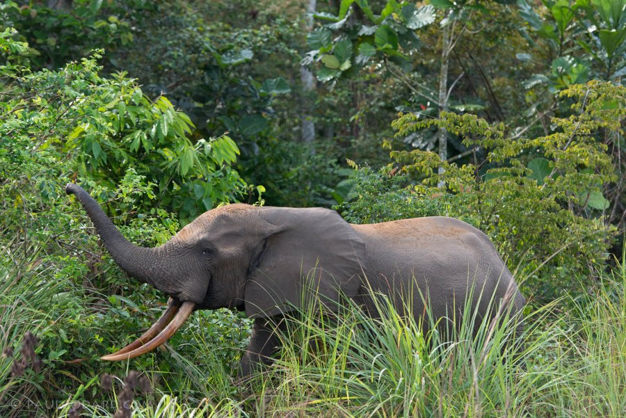 The African forest elephant is native to the Congo Basin and West Africa. Paul Godard, Flickr