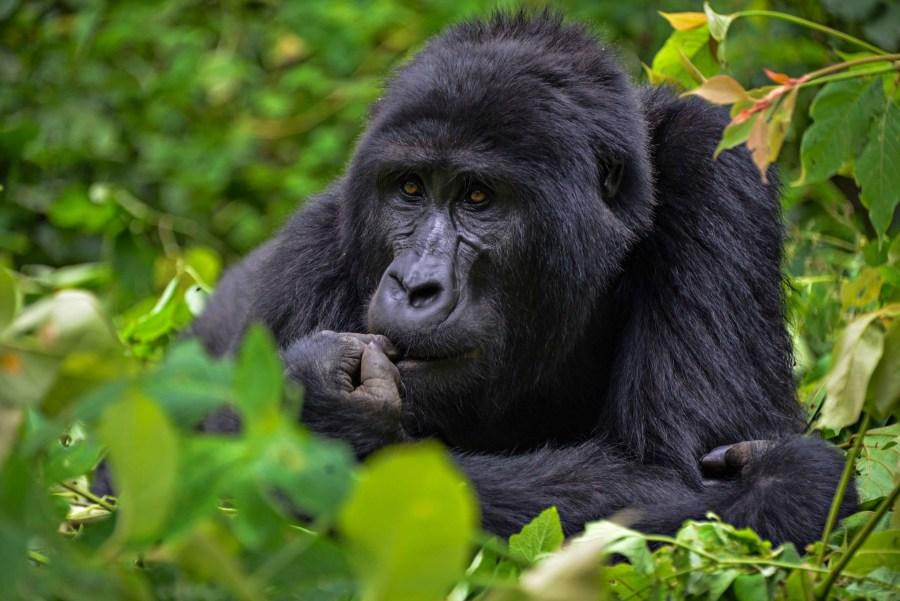 A mountain gorilla in Uganda's Bwindi Impenetrable Forest. Rod Waddington, Flickr