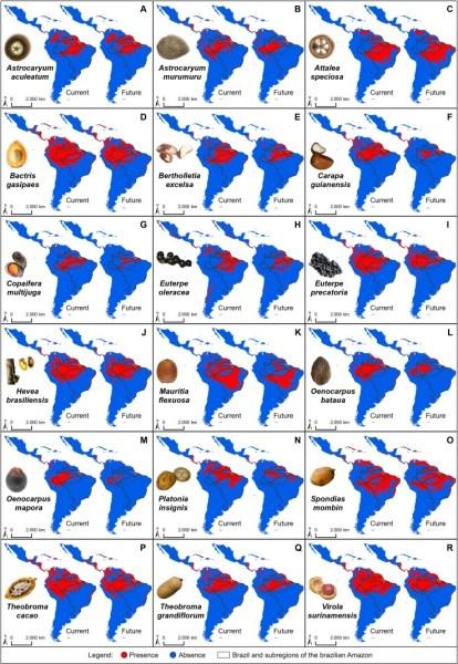 Distribuição de algumas das principais espécies nativas amazônicas extraídas pelas comunidades em um cenário climático atual e futuro (2050). A: tucumã; B: murumuru; C: babaçu ; D: pupunha; E: castanheira; F: andiroba; G: copaíba; H: açaí; I: açaí-solteiro; J: seringueira; K: buriti; L: patauá; M: bacaba; N: bacuri; O: cajá; P: cacau; Q: cupuaçu; R: ucuuba.