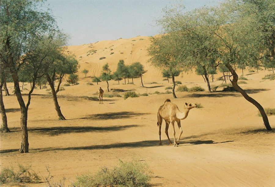 The ghaf tree is the national tree of the United Arab Emirates and can survive extreme drought. Jin Ring,Unsplash