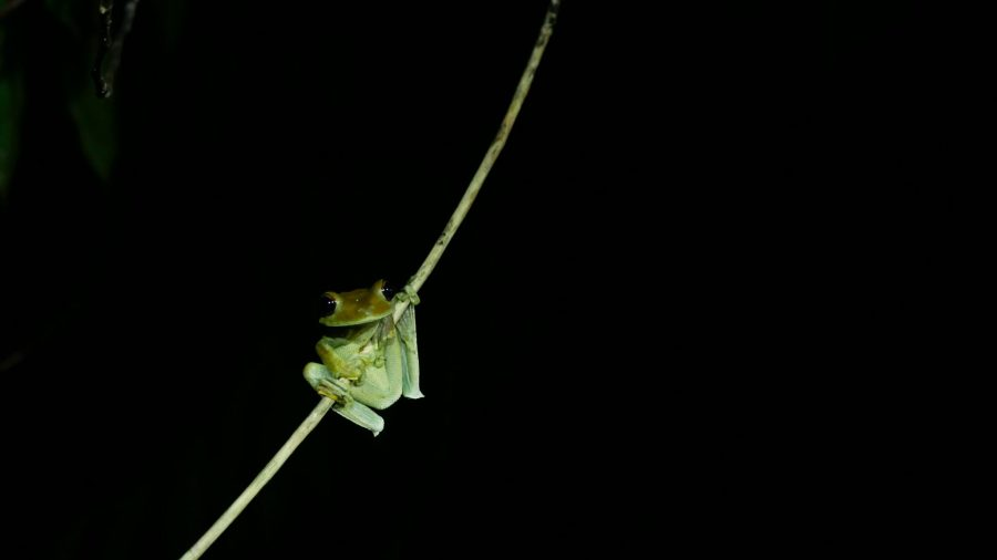 A tree-frog hanging on a branch in the Peruvian Amazon at night. The Amazon is home to 10 percent of all known forms of life. Ulrike Langner, Unsplash