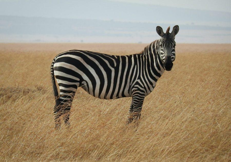 A zebra in Kenya. Ron Dauphin,Unsplash