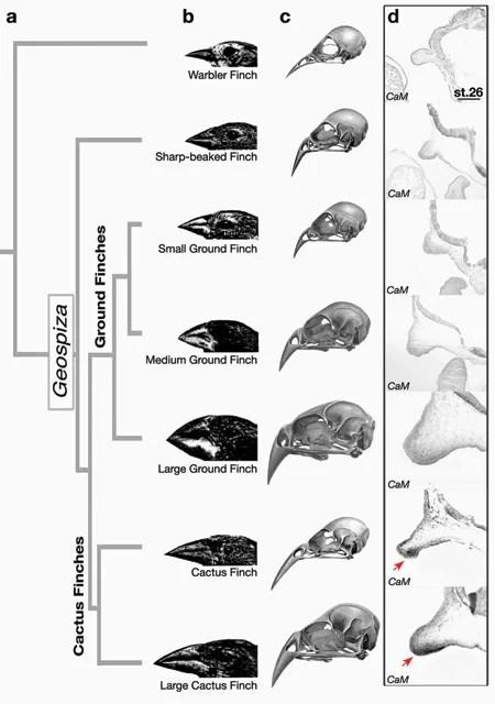 how darwin u2019s finches got their beaks  u2013 harvard gazette