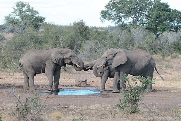 Africa's savanna elephant (shown) is as different from Africa's forest elephant as Asian elephants are to mammoths, says a new study in PLoS Biology.
