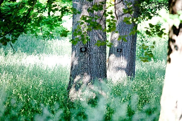 White oaks in the Arnold Arboretum offer a secluded retreat from the city.