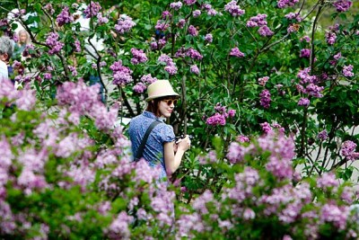 Anna Marden, of Boston, takes pictures as Harvard's Arnold Arboretum celebrated its 104th Lilac Sunday with tours and other activities.