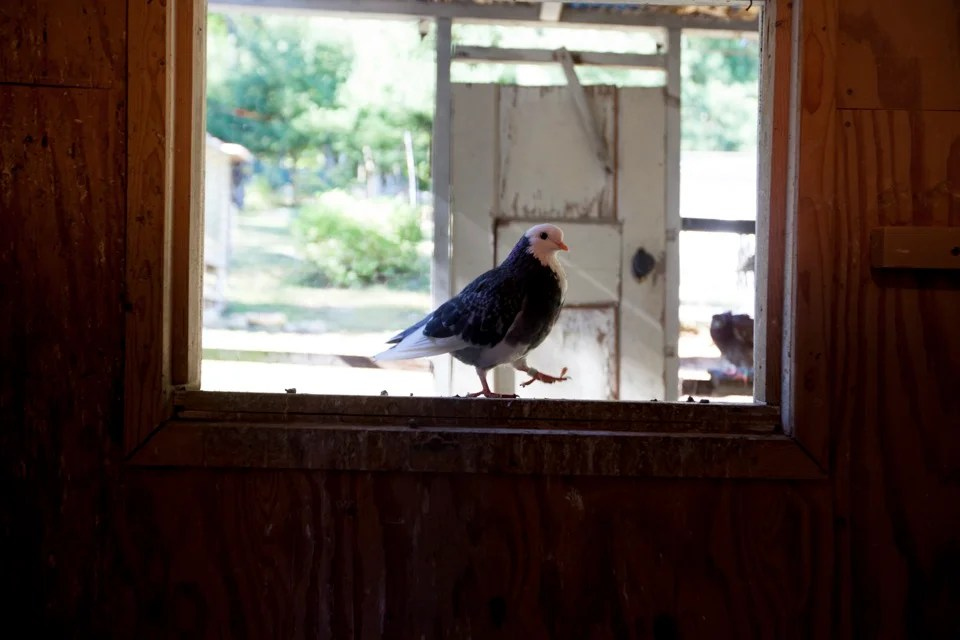 Spring shows students the diverse colors and patterns of his pigeons.