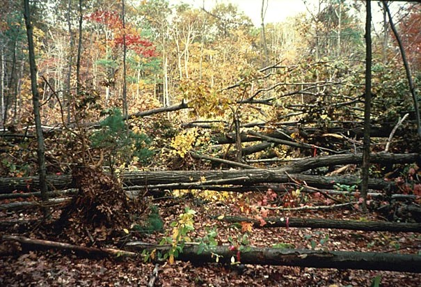 """In 1990, the Harvard Forest hurricane pulldown area was a jumble of downed trees. According to David Foster, director of the Harvard Forest, """"Leaving a damaged forest intact means the original conditions recover more readily."""""""