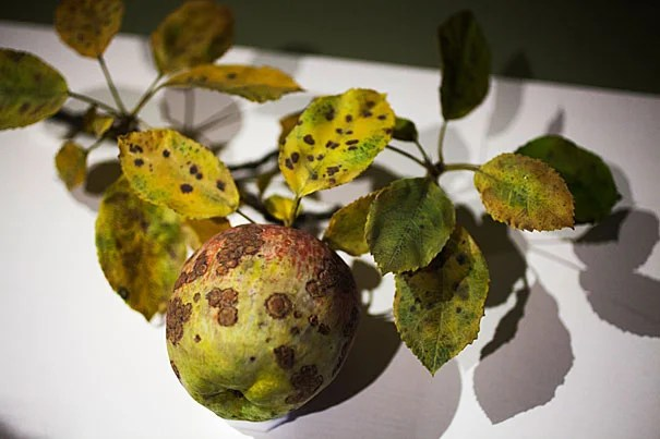 For the first time in a decade, four glass pieces depicting pollination and rotting fruit are on view at the Harvard Museum of Natural History's Glass Flowers gallery. The exhibit was curated by Jennifer Brown (photo 2), collection manager for the Ware Collection of Blaschka Glass Models of Plants.
