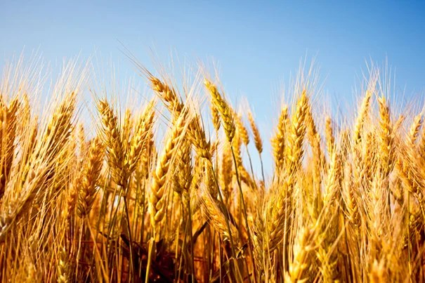 Researchers tested the nutrient concentrations of the edible portions of wheat and rice — among other crops — and found a significant decrease in the concentrations of zinc, iron, and protein.