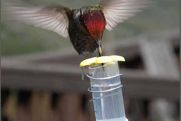 Hummingbirds' preference for sweetness has long been plain, but only now can scientists explain the complex biology behind their taste for sugar. The discovery required an international team of scientists, fieldwork in the California mountains and at Harvard University's Concord Field Station, and collaborations between Harvard labs on both sides of the Charles River.