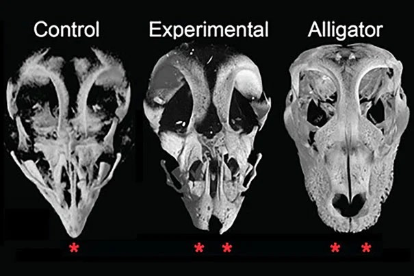 """Because we can get live alligator embryos with snouts, we can actually compare them with beaked modern birds to see how they develop their faces, and what genes are activating during that process,"" said Arkhat Abzhanov, who led a team of researchers who found that bird beaks are the result of skeletal changes controlled by two genetic pathways."