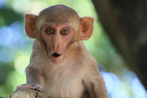 """A new study shows that gaze-following in monkeys develops in a way that's nearly identical to how it develops in humans. """"Even though it seems like it's a very simple thing, this is a foundational social and cognitive skill that humans have,"""" said first author Alexandra Rosati, an assistant professor of human evolutionary biology."""