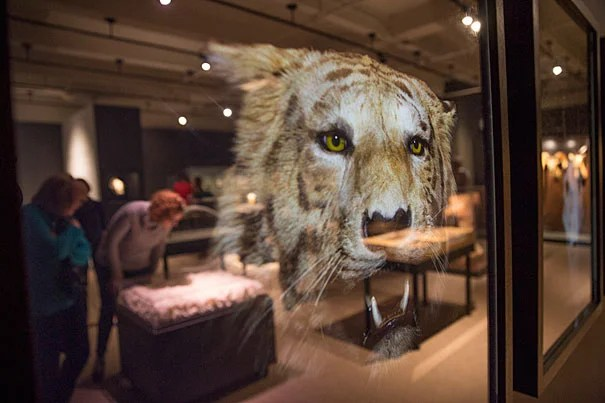 """A tigers image made by Visual artist Christina Seely, is displayed during a Harvard Museum of Natural History exhibition on extinction, as seen through an artist's lens, called """"Next of Kin"""". during a staff preview on Friday. HMSC exec dir Jane Pickering was also present. Kris Snibbe/Harvard Staff Photographer"""