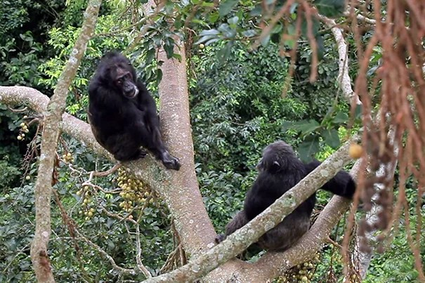 A study led by Richard Wrangham, the Ruth B. Moore Professor of Biological Anthropology, has shown that chimpanzees learn certain grooming behaviors from their mothers that they continue to perform long after their mothers' deaths.