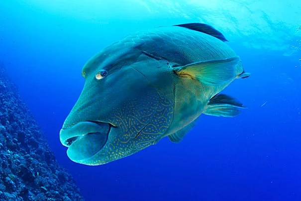 Fascinated with the ocean and photography from a young age, Keith Ellenbogen has shot photos of marine life from around the world, such as this intimate view of a large Humphead Wrasse swimming along a coral reef.