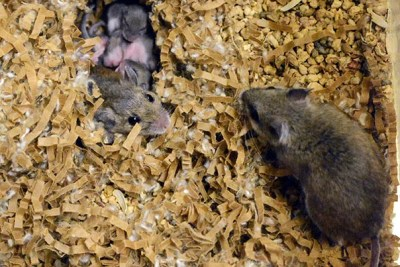 """A study led by Harvard Professor Hopi Hoekstra has uncovered links between the activity of specific genes and parenting behaviors across species, such as close cousins deer mice (pictured) and oldfield mice. """"[T]here's no measurable effect based on who raises [offspring],"""" Hoekstra said. """"It's all about who they are genetically."""""""