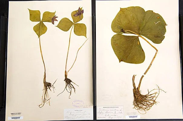 Thoreau's collection is something of a botanical time machine. Jon Chase/Harvard Staff Photographer