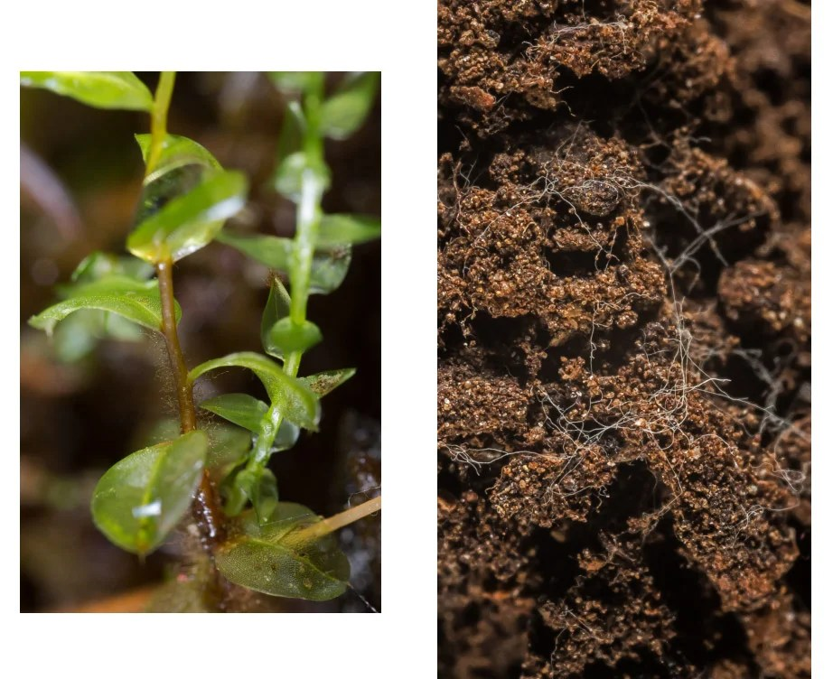 Moss with water drops (left) and soil containing fungal filaments, bothphotographed in Kittery Point, Maine. Photos by Scott Chimileski