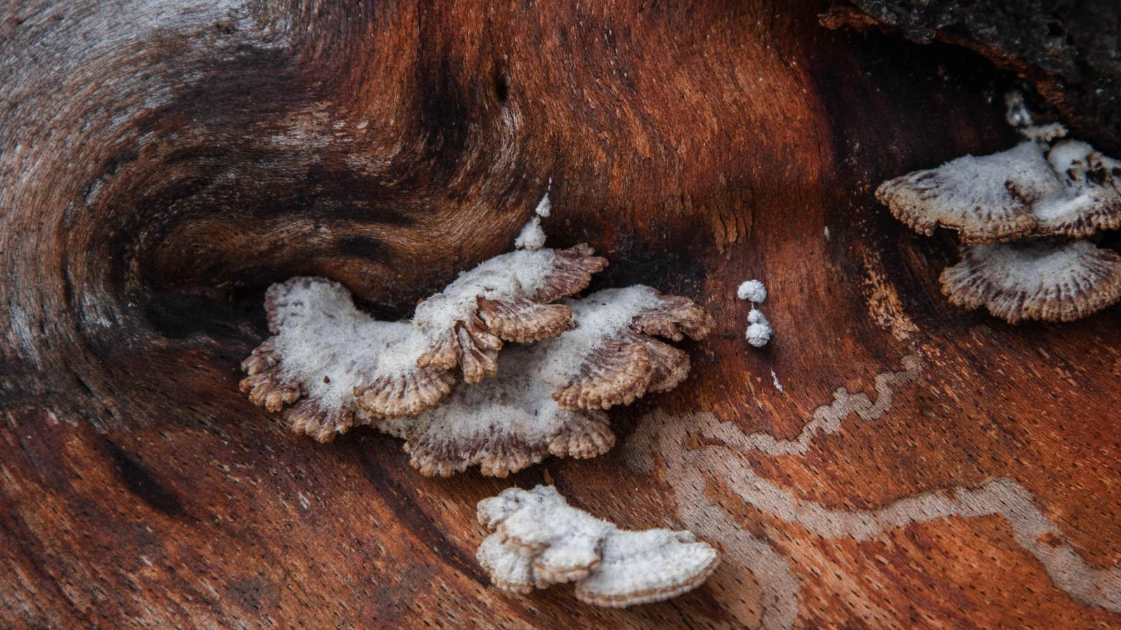 Close-up of mushrooms, beech.