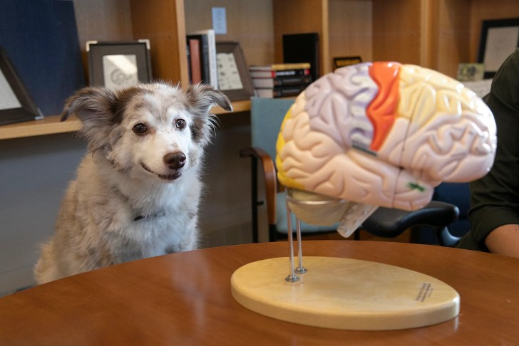 Hunters, herders, companions: Breeding dogs has reordered their brains