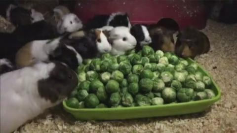 Sprout Eating Guinea Pigs Go Viral Meridian Itv News