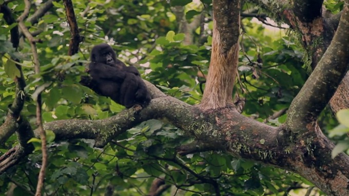 The UNESCO-protected Virunga National Park is home to rare gorillas