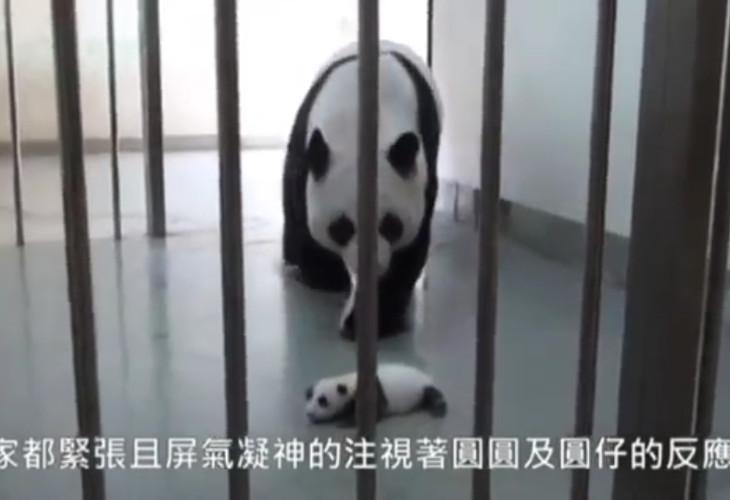 (ВИДЕО) Детеныш панды впервые встретил свою мать