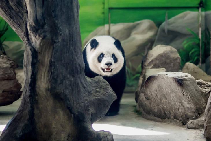 Зоопарк отметит день рождения первой тайваньской панды