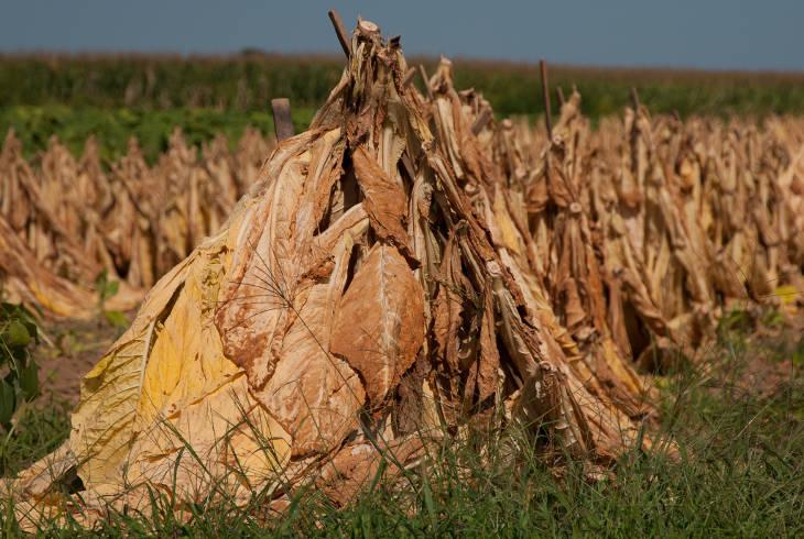 Зарубежный табак на 84% убил местное фермерство
