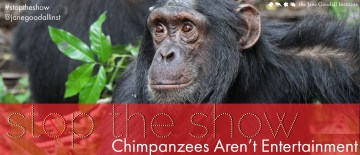 The Show Stops Now: Chimps Aren't Entertainment