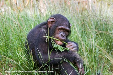 Chimps Belong in the Wild, Not in the Movies
