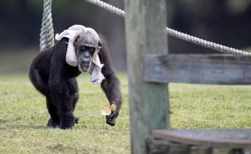 Sad loss of Little Mama, One of the Oldest Chimps