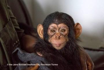 Meet Tchimpounga Sanctuary's New Baby Chimp: Vienna