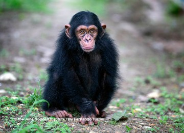 Think Twice Before You Like That Chimp Video on Social Media