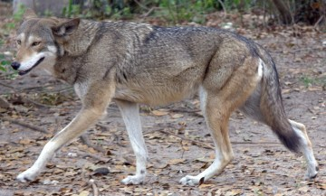 Hope for Animals: Don't Let the Last Howls of Red Wolves Go Unnoticed