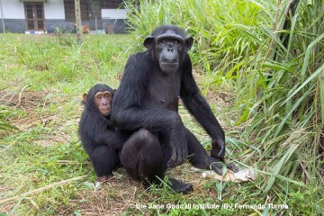 Research Shows Chimpanzees Cooperate First and Think Later