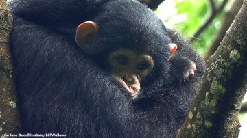 New Online Course on Chimpanzee Behavior & Conservation