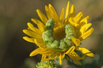 Gumweed with Green Caterpillar
