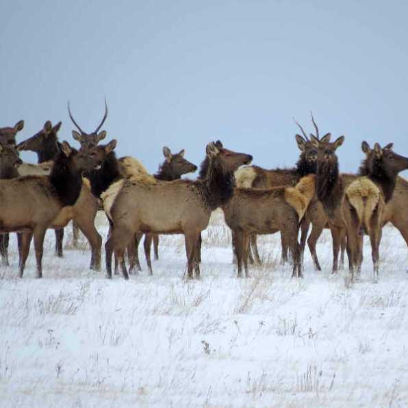 nature-a-elk-1